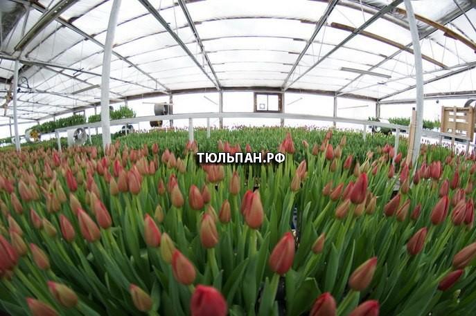 Мы выращиваем и продаём тюльпаны